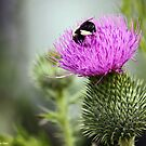 Thistle Buffet  by BillK