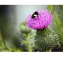Thistle Buffet  Photographic Print