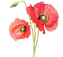 beautiful and delicate poppies by irenpal