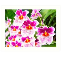 Cattleya White And Pink Orchids Art Print