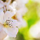 Bright White Bloom by ameliakayphotog