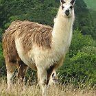 Llama and Young - Cornwall, UK by lynn carter