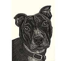 Staffordshire Bull Terrier Pen Drawing Photographic Print