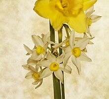 Daffodils by Chris Cobern