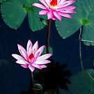 Two of a kind - pink waterlillies by Jenny Dean