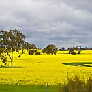 Stormy sky over Canola by pennyswork