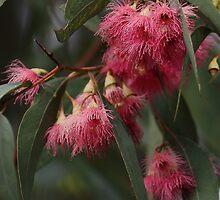 Red Flowering Gum by yolanda