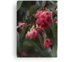Red Flowering Gum Canvas Print
