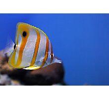 Copperbanded Butterflyfish - Monterey Bay Aquarium Photographic Print