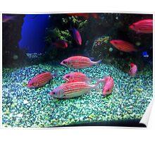 Colorful Fish in an Aquarium Poster