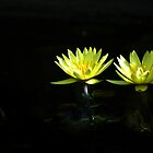 waterlily at night by wiwi