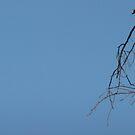 Watchful Kookaburra by creativehack