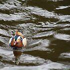 Mandarin Drake River Dee LLangollen by vonniepyn