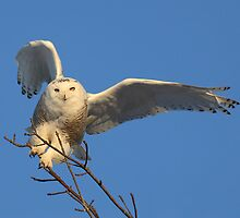 Counter Balance / Snowy Owl by Gary Fairhead