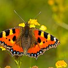 Small Tortoiseshell  by Robert Abraham