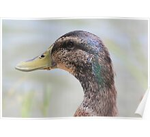 Duck with Crumbs on His Beak Poster