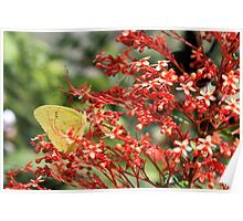 Sulphur Butterfly and Red Pagoda Poster