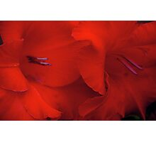 gladiola, shades of red... Photographic Print