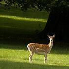 Fallow Deer Summer light by vonniepyn