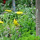 Yellow Finch on Yarrow by MarianBendeth
