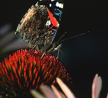 Red Admiral Butterfly  by Bill Spengler