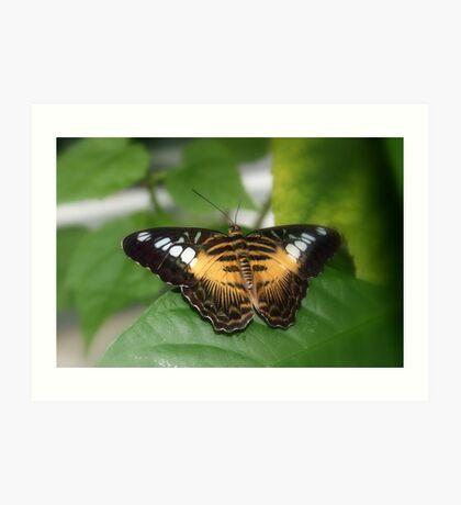 Clipper Butterfly (Parthenos sylvia)  Art Print