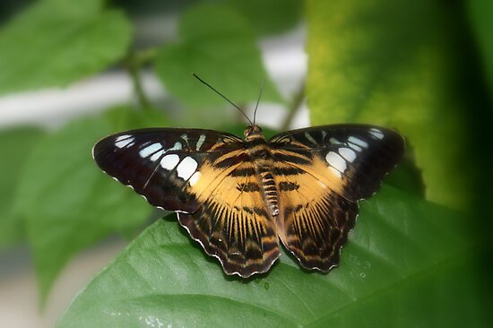 Clipper Butterfly (Parthenos sylvia)  by AuntDot