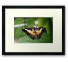 Clipper Butterfly (Parthenos sylvia)  Framed Print