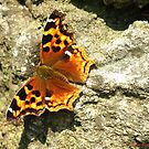 Compton Tortoiseshell Butterfly by MarianBendeth