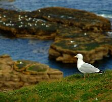 Herring Gull - Marsden by domediart