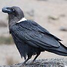 White-necked Raven by mojgan