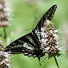Twin Lakes trail Butterfly by SKNickel