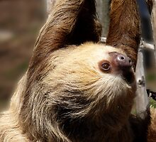 Sloth by Dawn Barberis-Viczai