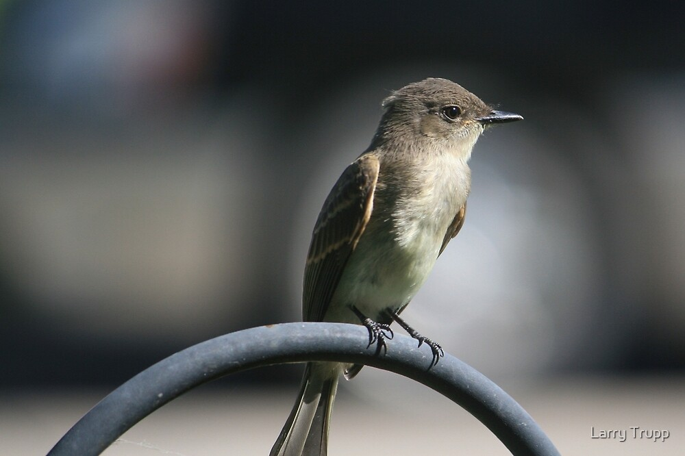 Eastern Wood-Pewee by Larry Trupp