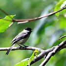 Black-Capped Chickadee by Dave & Trena Puckett