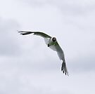 Black Headed Gull  by Nigel Bangert
