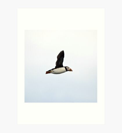 Puffin Flying Art Print