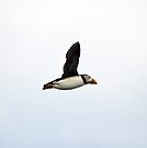 Puffin Flying by Nigel Bangert