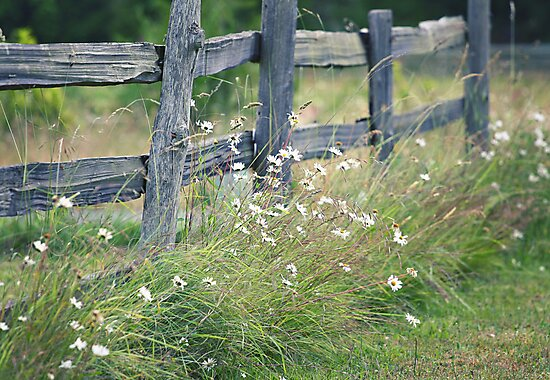 Split rail and daisies by SylviaCook
