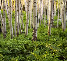 Kebler Pass Aspen - Summer by Alex Burke