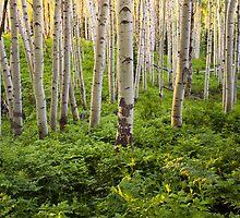 Kebler Pass Aspen - Summer by Alex Burke