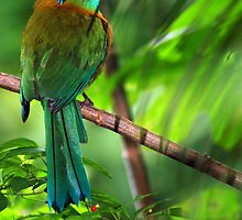 Blue-crowned Motmot (Momotus momota) - Costa Rica by Jason Weigner