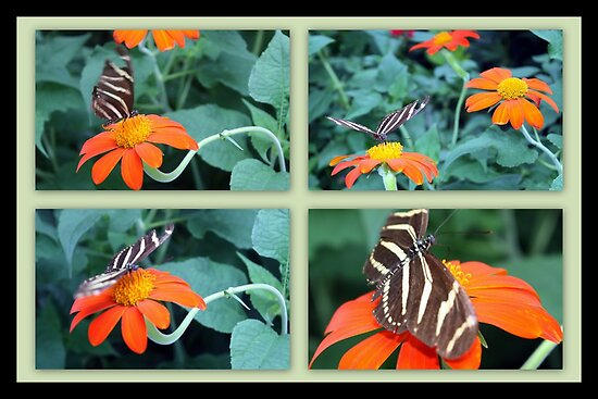 Zebra Longwing Butterfly (Heliconius charithonia) by AuntDot