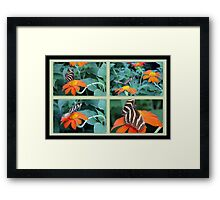 Zebra Longwing Butterfly (Heliconius charithonia) Framed Print