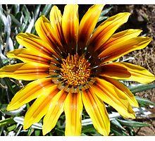 Gaillardia - my garden Photographic Print