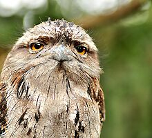Frog Mouth Owl by iDigitalDarwin