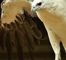 Sea Eagle by iDigitalDarwin