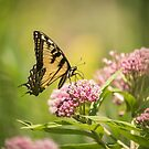 Eastern Tiger Swallowtail 1-2015 by Thomas Young