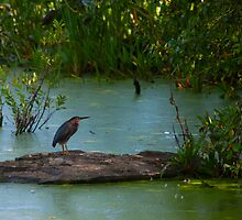 Green Heron @ Mud Lake by Josef Pittner