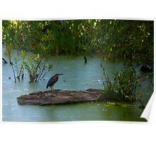 Green Heron @ Mud Lake Poster